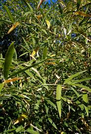 Why Are My Plants Turning by Why Are Your Bamboo Or Pine Trees Turning Yellow In The Fall