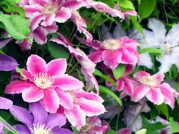 how to plant a clematis hgtv