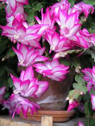 21 best cactus thanksgiving cactus easter cactus