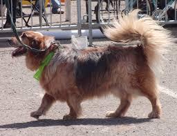 australian shepherd or golden retriever woohoo i u0027m a good dog the dogs of san franciscothe dogs of san