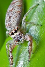 spirit halloween jumping spider 106 best jumping spiders images on pinterest jumping spider