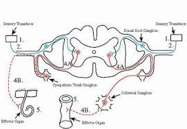 Describe A Reflex Action Reflex Arc Human Anatomy Organs