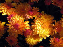 flower beautiful mums flowers black yellow picture nice flower