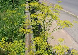 plants native to pennsylvania poisonous plants like wild parsnip could spoil your summer cbs news