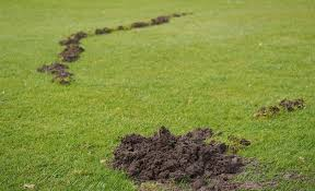 How To Get Rid Of Moles In The Backyard by How To Get Rid Of Moles Using Home Remedies Improvements Blog