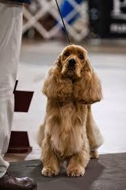 yarrow affenpinscher dog show 2014 04 20