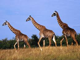 animals great quality definition wild nature giraffe free high
