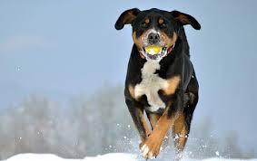 american eskimo dog vs keeshond bernese mountain dog vs greater swiss mountain dog dog breed atlas