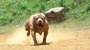 american pitbull terrier kennels usa american pitbulls terrier youtube