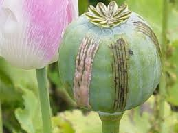 opium production in afghanistan shows increase prices set to rise