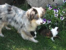 australian shepherd miniature mini australian aussie shepherd miniature shepherds breeder