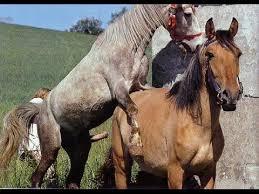 mustangs mating mating up big horses mating season