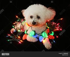 Colored Christmas Lights by Beautiful Bichon Frise Dog Sits Image U0026 Photo Bigstock