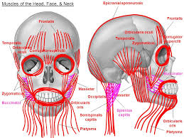 Orbicular Oris Muscles Of The Head Face U0026 Neck Frontalis Muscles Of The Head