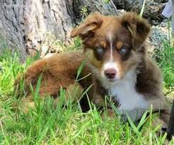 australian shepherd dog puppies miniature australian shepherd dog breeder in valley springs