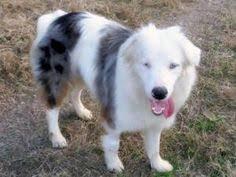 australian shepherd 10 months custom crochet dog