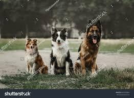 belgian shepherd or border collie three dog sitting together ourdoor german stock photo 459299884