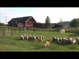 australian shepherd herding sheep australian cattle dog herding sheep youtube