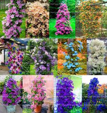 online get cheap easy build homes aliexpress alibaba group rare climbing clematis hybridas flower seeds planting perennial bonsai for diy home amp