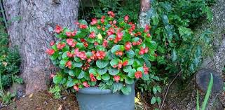 easy flowers to grow indoors how to grow begonias indoors during the winter today s homeowner