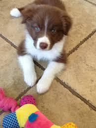 8 week australian shepherd 8 week old aussie puppy aww