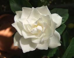 gardenia flower file white gardenia flower jpg wikimedia commons