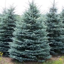 black hills spruce tree shelmerdine garden center