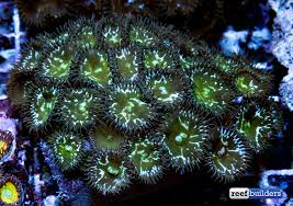 led lighting for zoanthids clown face zoanthids are part of a whole new breed of palythoa