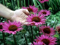 echinacea flower explore cornell home gardening flower growing guides growing