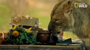 thanksgiving exclusive lions devour formal