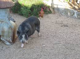 wilbur u0027s fan page our wonderful rescue pot belly pig country
