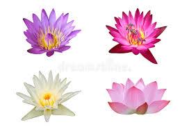 Lotus Flower In Muddy Water - bouquet of lotus flower in nature lotus pond stock photo image