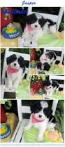 bichon frise kennels best 25 cute dogs for sale ideas on pinterest pups for sale