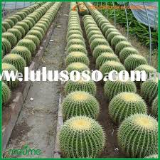 indoor cactus plants indoor cactus plants manufacturers in