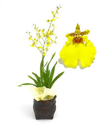 oncidium orchid oncidium care here is some advice for caring for the