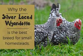 why the silver laced wyandotte is the best chicken breed for a