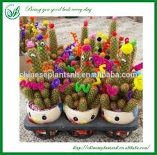 lucky cactus indoor ornamental plants buy indoor ornamental