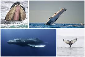 whaletrips humpbacks best time and place to watch humpback whales