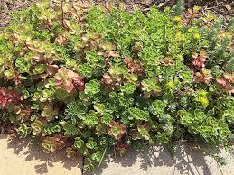 growing sedum or stonecrop in pots