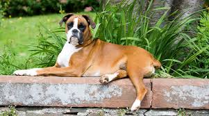 boxer dog with full tail dog tail types