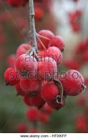 Profusion Flowering Crabapple - malus x moerlandsii profusion crabapple stock photo royalty free