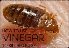 natural bed bug remedies best diy homemade vinegar bed bug killer dengarden