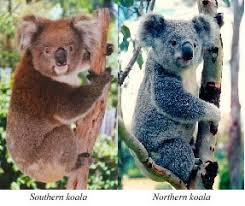 physical characteristics koala australian koala foundation