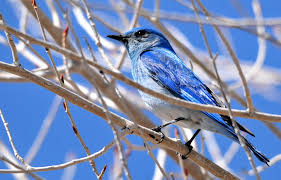 file mountain bluebird on seedskadee national wildlife refuge
