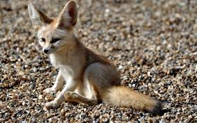 free fennec fox wallpaper 35931 1920x1200 px hdwallsource com