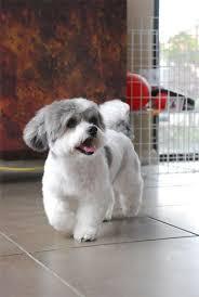 shih pooh haircut shih tzu grooming style photos the bichon frise dog shih tzu