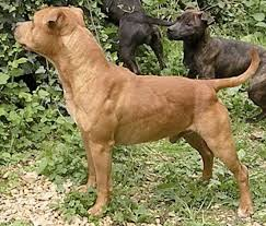american pitbull terrier in uk terrier wikipedia