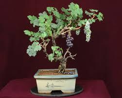 grapevine bonsai trees
