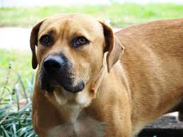 blackmouth cur 1001 dogs pinterest top dog breeds dog