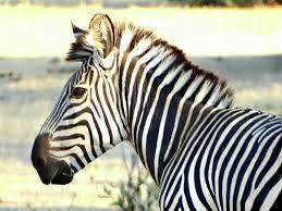 photo friday zebra portrait color black u0026 white